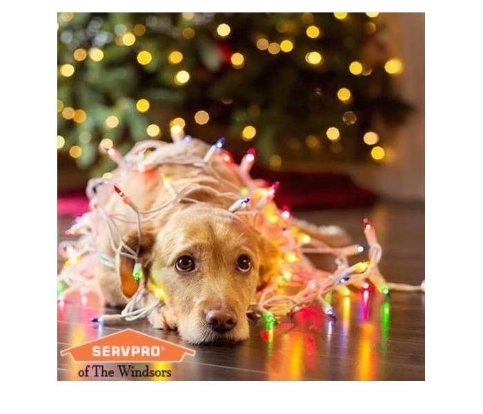 Golden retriever lying on floor in front of Christmas tree tangled up in a string of colorful lights